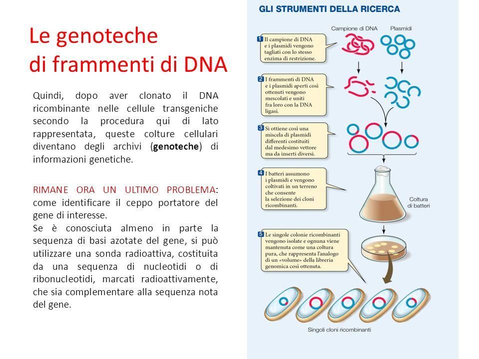 Quindi, dopo aver clonato il DNA ricombinante nelle cellule transgeniche secondo la procedura qui di lato rappresentata, queste colture cellulari diventano degli archivi (genoteche) di informazioni genetiche.