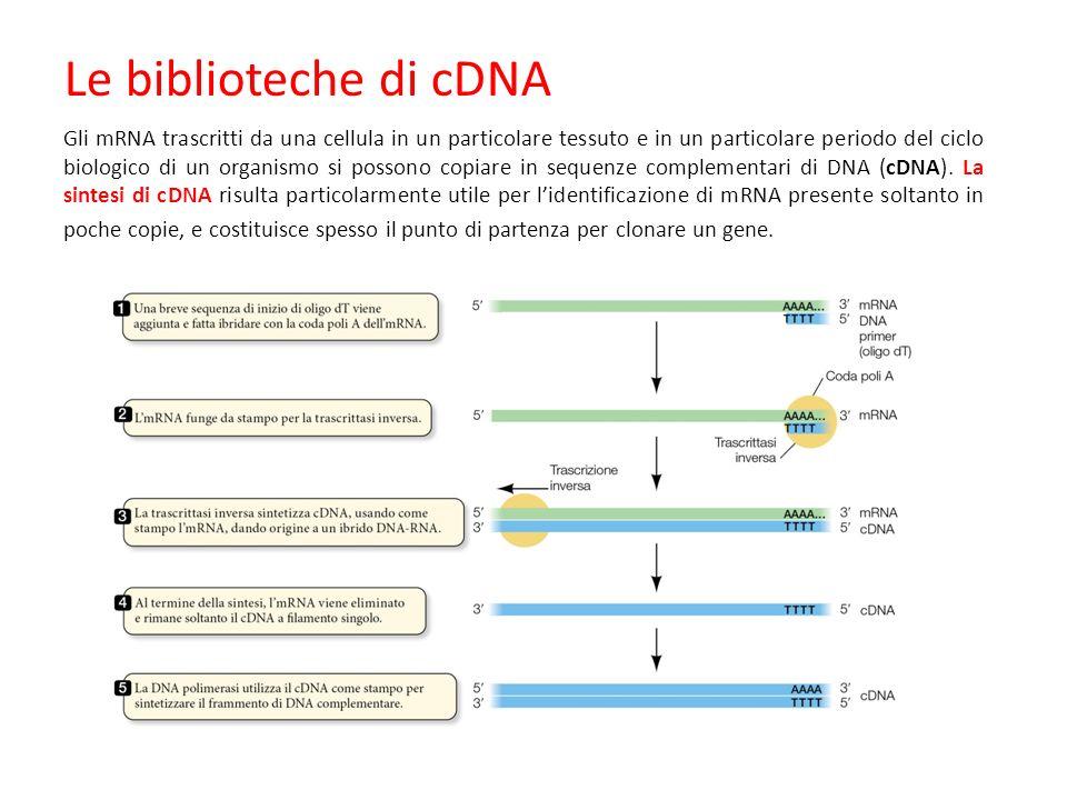Gli mRNA trascritti da una cellula in un particolare tessuto e in un particolare periodo del ciclo biologico di un organismo si possono copiare in sequenze complementari di DNA (cDNA).