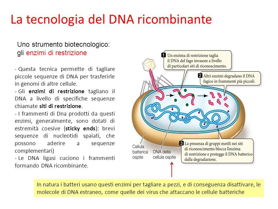 La tecnologia del DNA ricombinante - Questa tecnica permette di tagliare piccole sequenze di DNA per trasferirle in genomi di altre cellule.