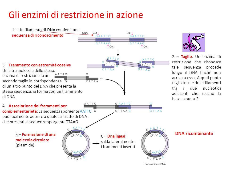 Gli enzimi di restrizione in azione 1 – Un filamento di DNA contiene una sequenza di riconoscimento 3 – Frammento con estremità coesive Unaltra molecola dello stesso enzima di restrizione fa un secondo taglio in corrispondenza di un altro punto del DNA che presenta la stessa sequenza: si forma così un frammento di DNA.