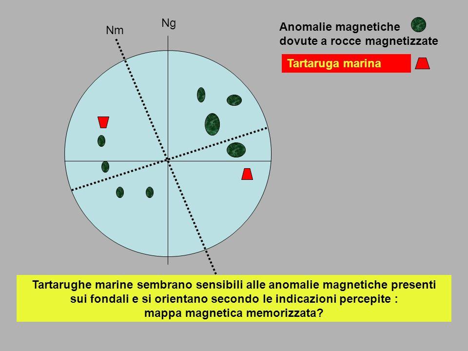 Nm Ng Anomalie magnetiche dovute a rocce magnetizzate Tartaruga marina Tartarughe marine sembrano sensibili alle anomalie magnetiche presenti sui fond
