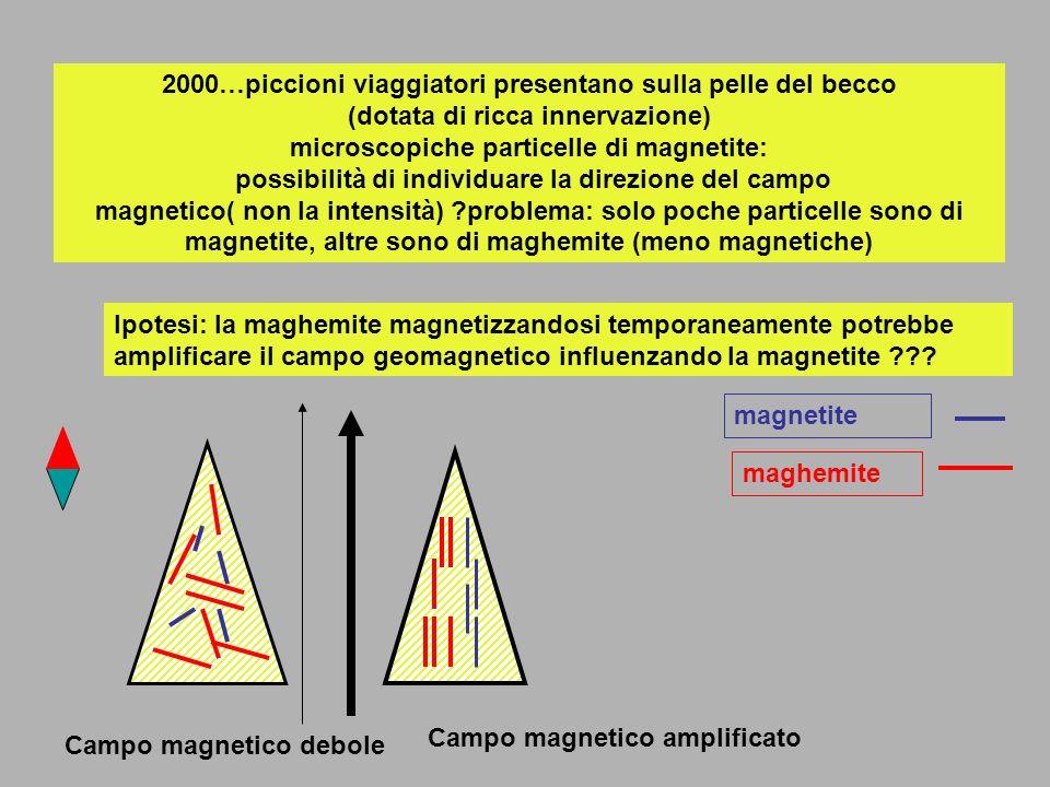 2000…piccioni viaggiatori presentano sulla pelle del becco (dotata di ricca innervazione) microscopiche particelle di magnetite: possibilità di indivi