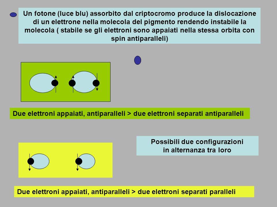 Un fotone (luce blu) assorbito dal criptocromo produce la dislocazione di un elettrone nella molecola del pigmento rendendo instabile la molecola ( st