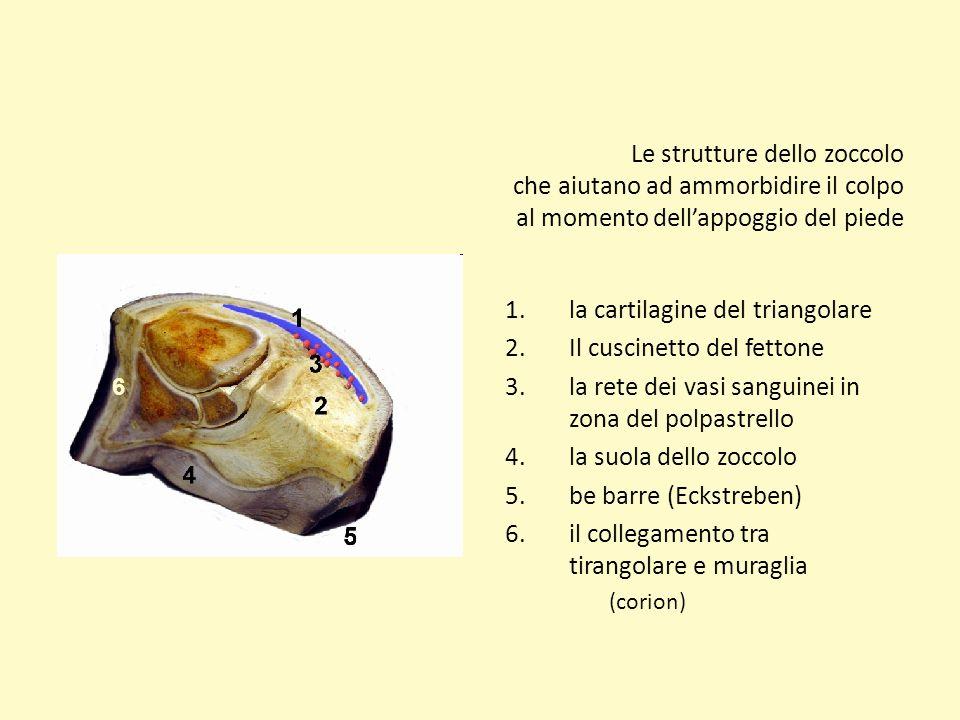 Le strutture dello zoccolo che aiutano ad ammorbidire il colpo al momento dellappoggio del piede 1.la cartilagine del triangolare 2.Il cuscinetto del