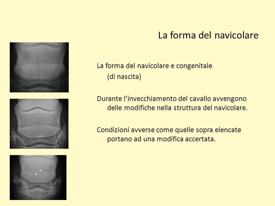La forma del navicolare La forma del navicolare e congenitale (di nascita) Durante linvecchiamento del cavallo avvengono delle modifiche nella struttu