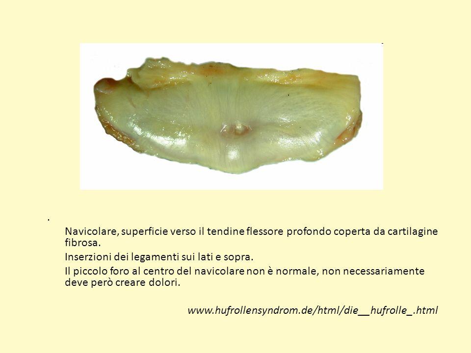. Navicolare, superficie verso il tendine flessore profondo coperta da cartilagine fibrosa. Inserzioni dei legamenti sui lati e sopra. Il piccolo foro