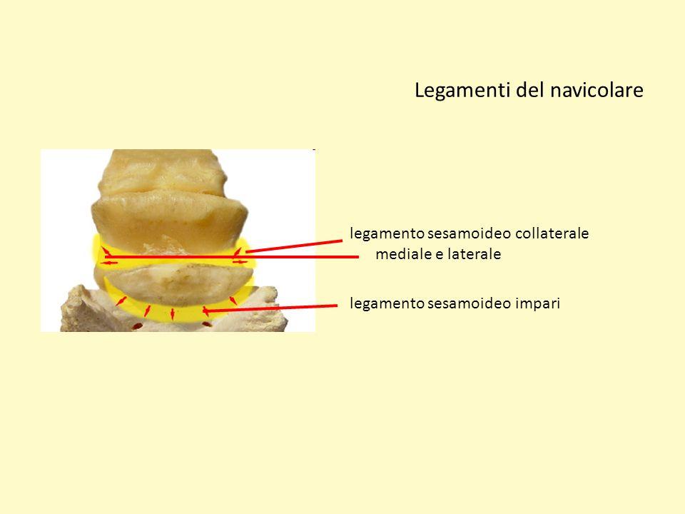 Legamenti del navicolare legamento sesamoideo collaterale mediale e laterale legamento sesamoideo impari