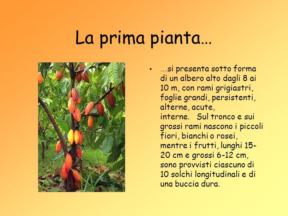 La prima pianta… … si presenta sotto forma di un albero alto dagli 8 ai 10 m, con rami grigiastri, foglie grandi, persistenti, alterne, acute, interne