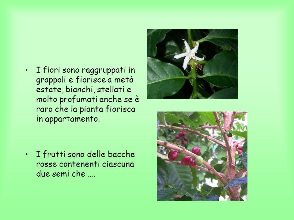 I fiori sono raggruppati in grappoli e fiorisce a metà estate, bianchi, stellati e molto profumati anche se è raro che la pianta fiorisca in appartame