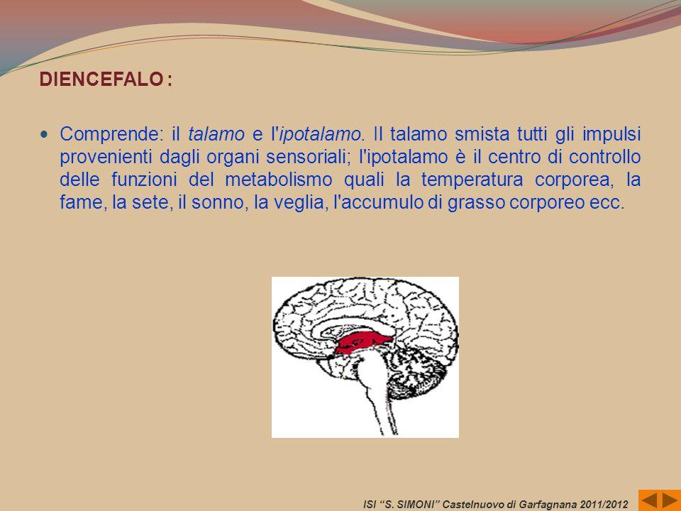 DIENCEFALO : Comprende: il talamo e l'ipotalamo. Il talamo smista tutti gli impulsi provenienti dagli organi sensoriali; l'ipotalamo è il centro di co