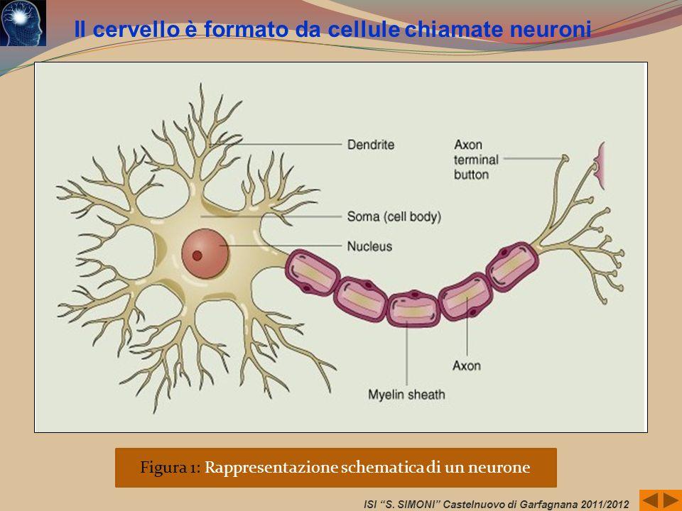 Figura 1: Rappresentazione schematica di un neurone ISI S. SIMONI Castelnuovo di Garfagnana 2011/2012 Il cervello è formato da cellule chiamate neuron