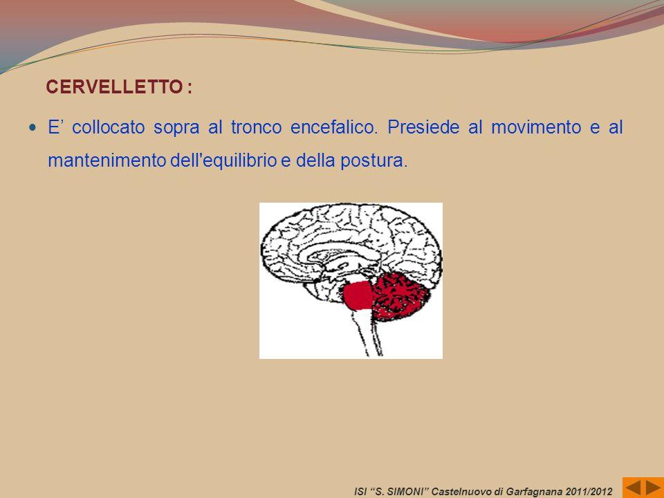 CERVELLETTO : E collocato sopra al tronco encefalico. Presiede al movimento e al mantenimento dell'equilibrio e della postura. ISI S. SIMONI Castelnuo