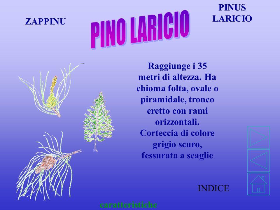 INDICE caratteristiche PINUS PINEA PIGNU Può raggiungere i 20 metri di altezza, ha chioma larga e piatta, ombrelliforme. Il tronco è molto resinoso, e
