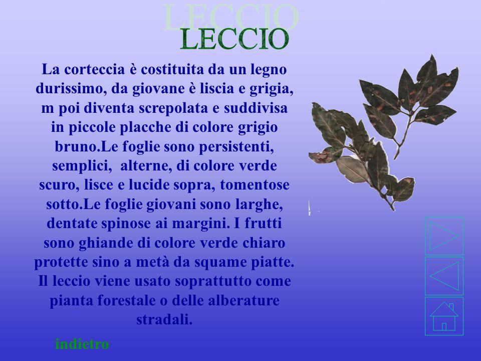 indietro Le foglie sono imparipennate, formate da 6 o 9 foglioline, dentate e picciolate, lucide da entrambi i lati, caducifoglie in inverno. I fiori
