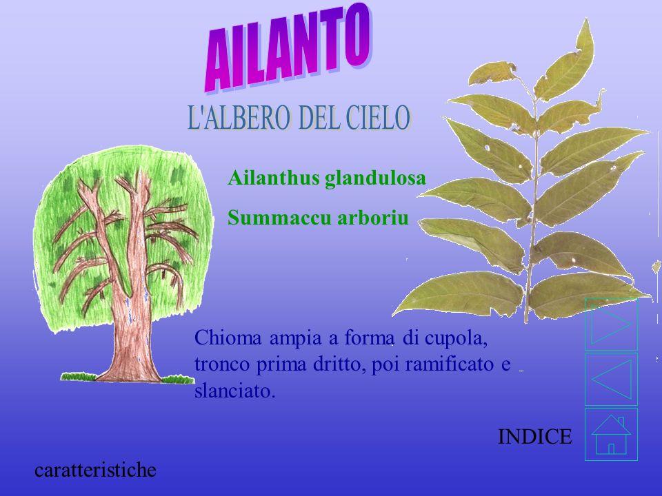 Ailanthus glandulosa Summaccu arboriu Chioma ampia a forma di cupola, tronco prima dritto, poi ramificato e slanciato.