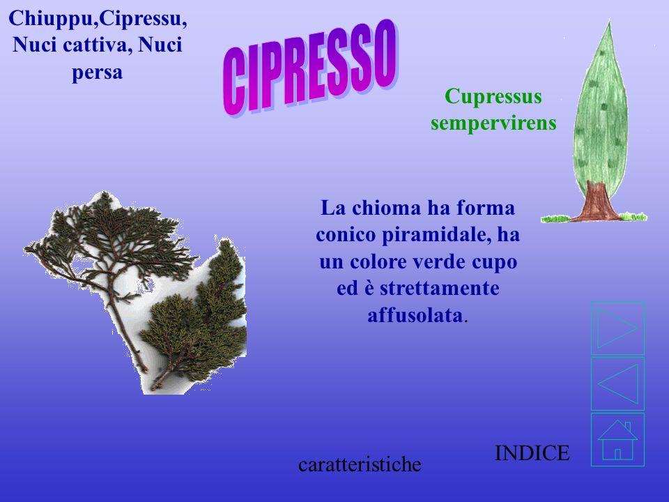 Cupressus sempervirens Chiuppu,Cipressu, Nuci cattiva, Nuci persa INDICE La chioma ha forma conico piramidale, ha un colore verde cupo ed è strettamente affusolata.