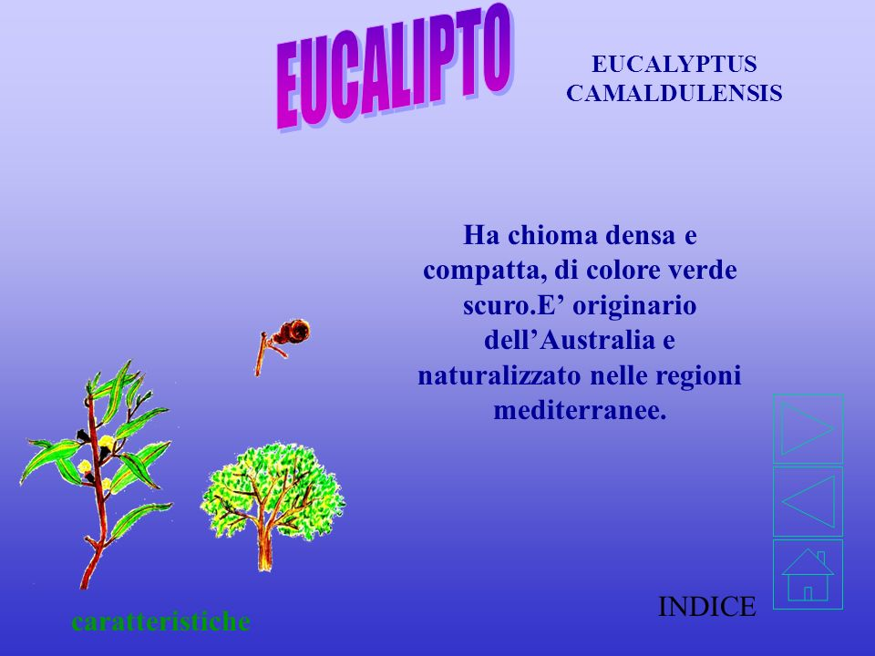 INDICE caratteristiche Ha chioma densa e compatta, di colore verde scuro.E originario dellAustralia e naturalizzato nelle regioni mediterranee.