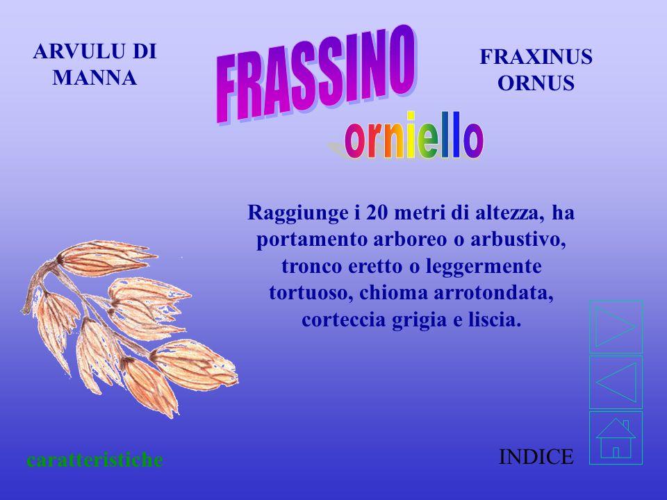 INDICE caratteristiche FRAXINUS ORNUS ARVULU DI MANNA Raggiunge i 20 metri di altezza, ha portamento arboreo o arbustivo, tronco eretto o leggermente tortuoso, chioma arrotondata, corteccia grigia e liscia.