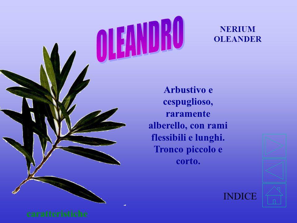 INDICE caratteristiche NERIUM OLEANDER Arbustivo e cespuglioso, raramente alberello, con rami flessibili e lunghi.