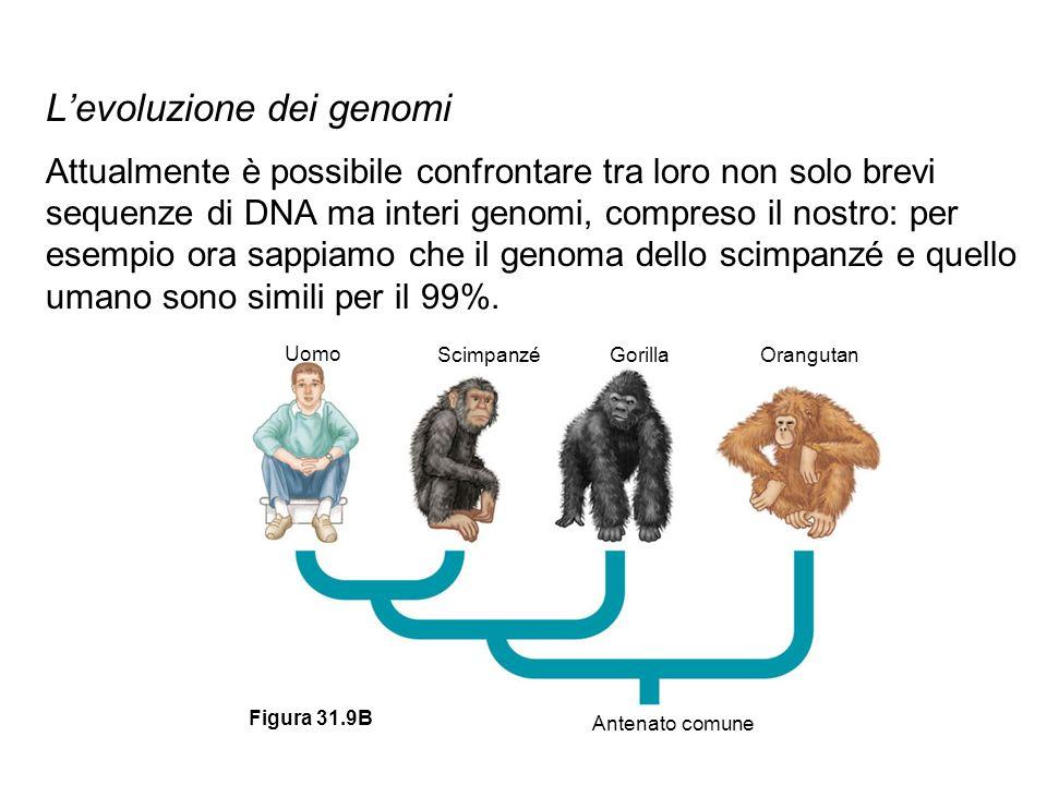 Levoluzione dei genomi Attualmente è possibile confrontare tra loro non solo brevi sequenze di DNA ma interi genomi, compreso il nostro: per esempio o