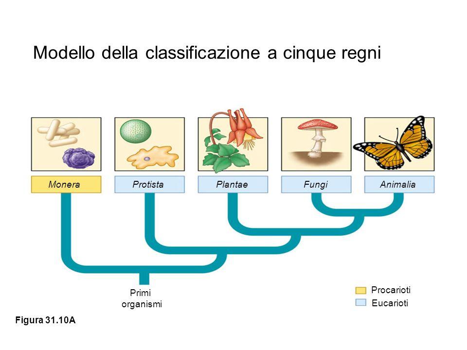 MoneraProtistaPlantaeFungiAnimalia Primi organismi Procarioti Eucarioti Figura 31.10A Modello della classificazione a cinque regni