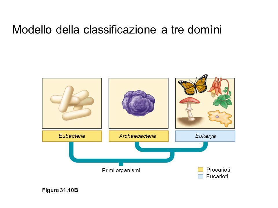 Modello della classificazione a tre domìni EubacteriaArchaebacteriaEukarya Primi organismi Procarioti Eucarioti Figura 31.10B