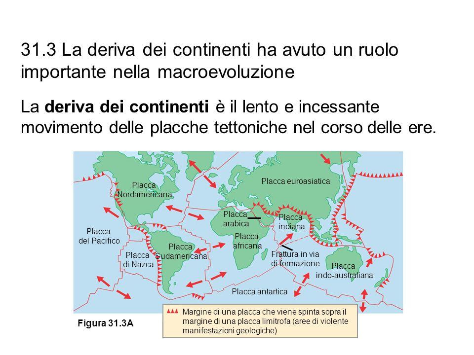 31.3 La deriva dei continenti ha avuto un ruolo importante nella macroevoluzione La deriva dei continenti è il lento e incessante movimento delle plac