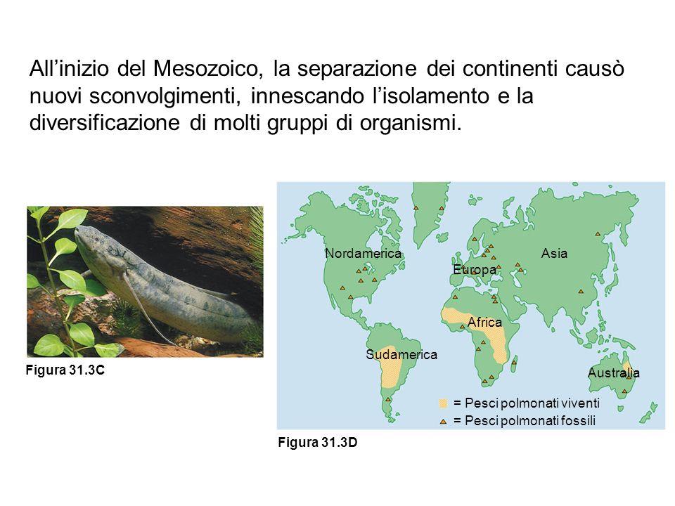 Nordamerica Sudamerica Europa Asia Africa Australia = Pesci polmonati viventi = Pesci polmonati fossili Figura 31.3D Figura 31.3C Allinizio del Mesozo