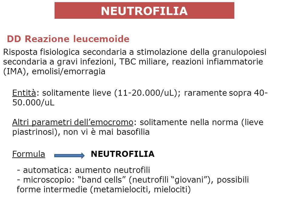 Entità: solitamente lieve (11-20.000/uL); raramente sopra 40- 50.000/uL Altri parametri dellemocromo: solitamente nella norma (lieve piastrinosi), non vi è mai basofilia Formula - automatica: aumento neutrofili - microscopio: band cells (neutrofili giovani), possibili forme intermedie (metamielociti, mielociti) NEUTROFILIA Risposta fisiologica secondaria a stimolazione della granulopoiesi secondaria a gravi infezioni, TBC miliare, reazioni infiammatorie (IMA), emolisi/emorragia DD Reazione leucemoide NEUTROFILIA