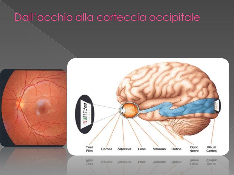 Numerosi studi hanno evidenziato che la retina può essere danneggiata dall accumulo, con il trascorrere degli anni, dei cosiddetti radicali liberi , che provocano danni alle cellule ed impediscono la loro rigenerazione.
