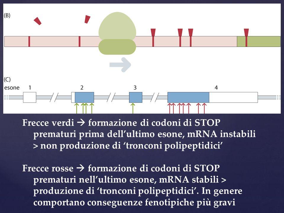 Frecce verdi formazione di codoni di STOP prematuri prima dellultimo esone, mRNA instabili > non produzione di tronconi polipeptidici Frecce rosse for