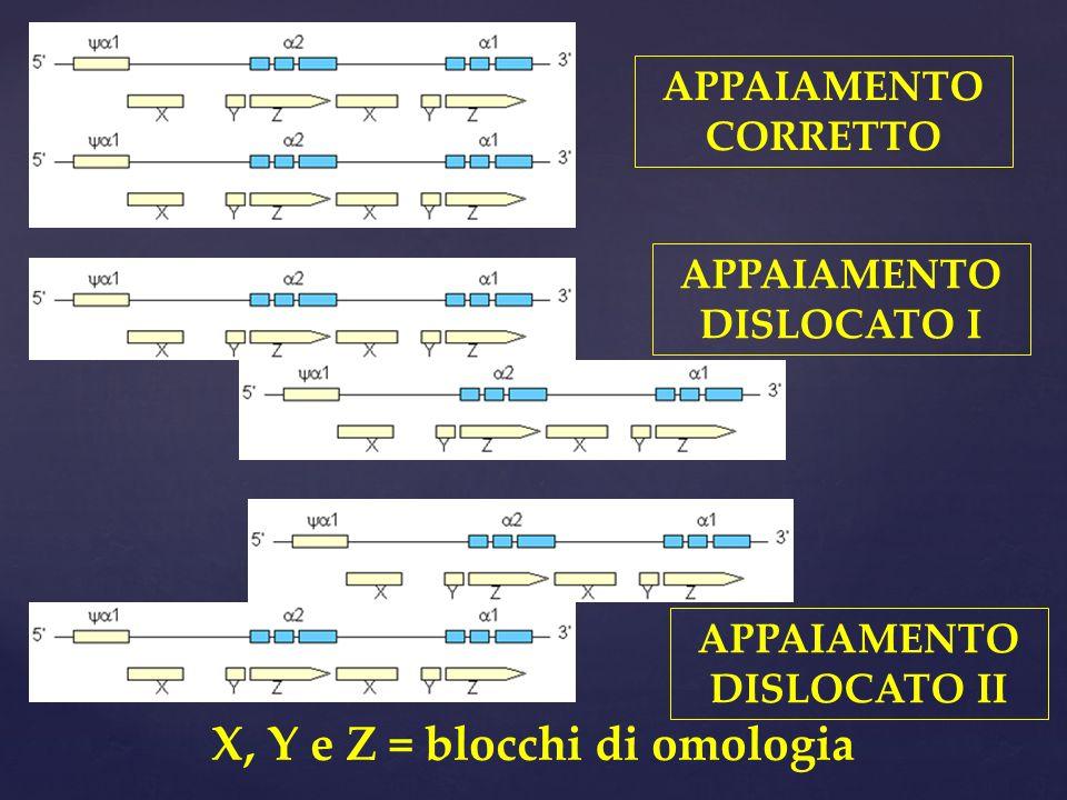 X, Y e Z = blocchi di omologia APPAIAMENTO CORRETTO APPAIAMENTO DISLOCATO I APPAIAMENTO DISLOCATO II