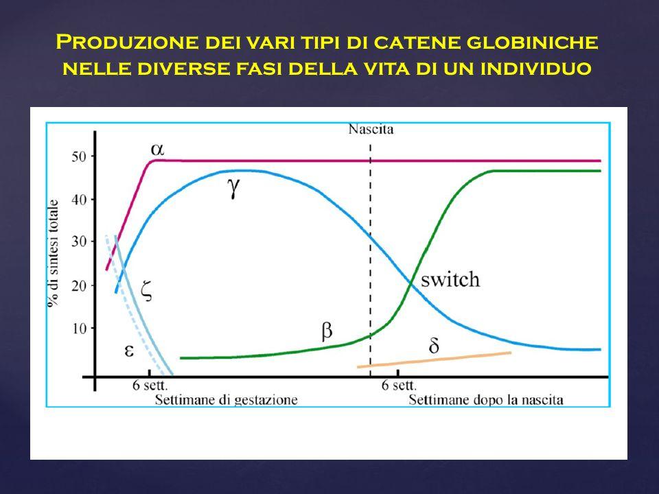 Produzione dei vari tipi di catene globiniche nelle diverse fasi della vita di un individuo