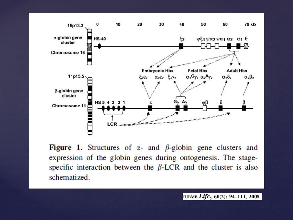 HbSbeta 6 Glu Val, allele responsabile dellanemia a cellule falciformi (malattia autosomica recessiva), a livello di DNA la mutazione consiste in un cambiamento A > T (il codone GAG diventa GTG) gli eterozigoti betaA/betaS sono portatori sani, i loro gl.rossi vanno incontro al fenomeno della falcizzazione in condizioni di bassa pressione di O 2 gli omozigoti betaS/betaS presentano una grave anemia emolitica e i loro gl.rossi sono a forma di falce Gl.rossi normali Gl.rosso falcemico