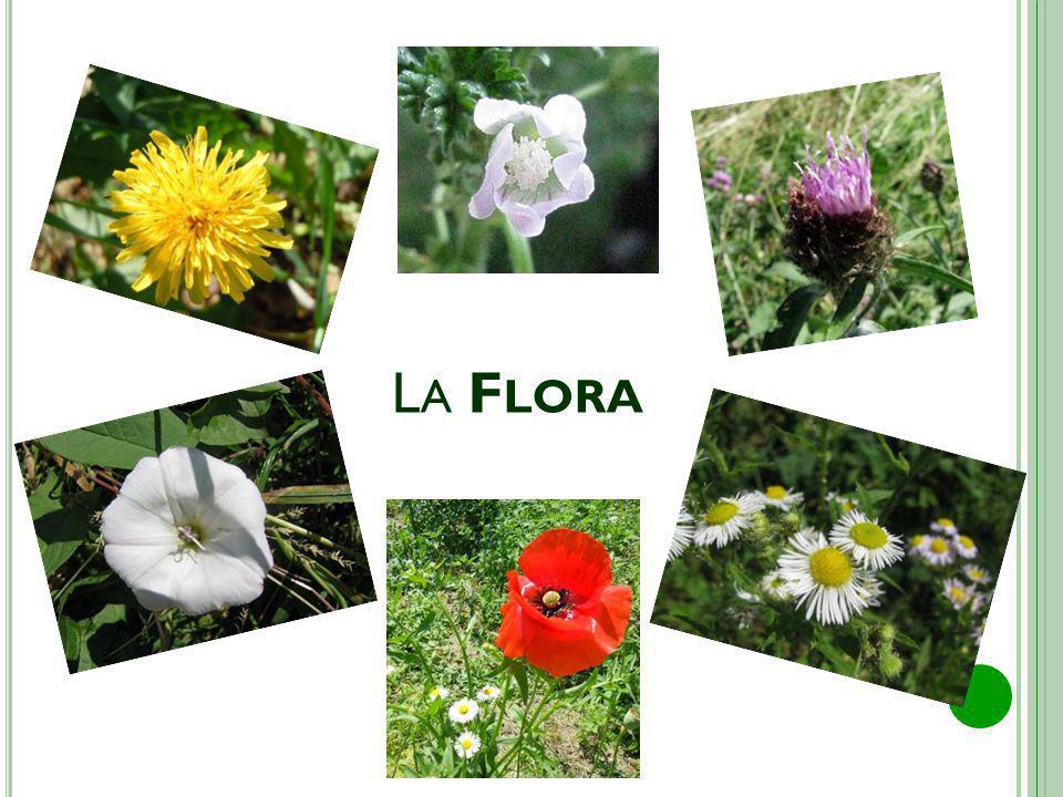 T ARASSACO M ALVA BIANCA Noto anche come dente di leone, è una pianta erbacea della famiglia delle Asteracee; è dotato di radice a fittone e foglie lobate penninervie; una volta maturati i semi, il fiore si trasforma in soffione.