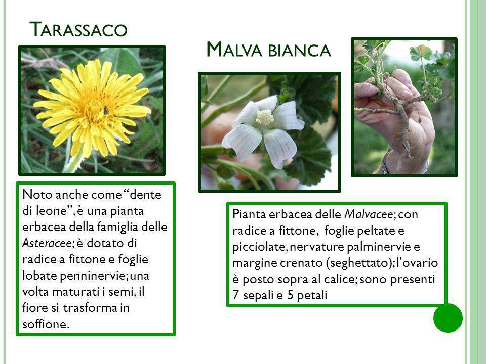 T ARASSACO M ALVA BIANCA Noto anche come dente di leone, è una pianta erbacea della famiglia delle Asteracee; è dotato di radice a fittone e foglie lo