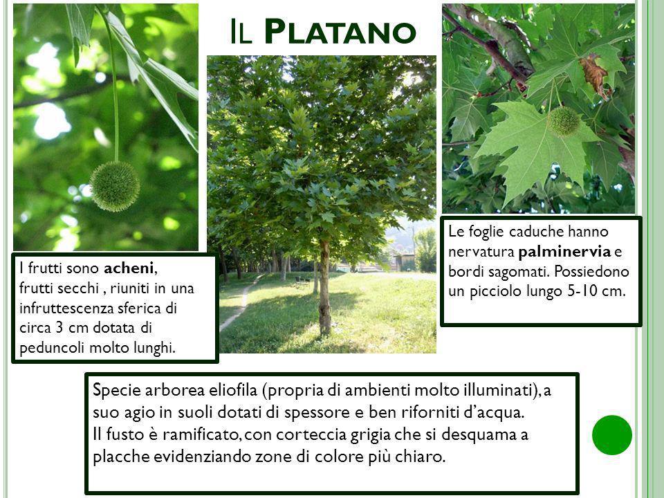 Specie arborea eliofila (propria di ambienti molto illuminati), a suo agio in suoli dotati di spessore e ben riforniti dacqua. Il fusto è ramificato,