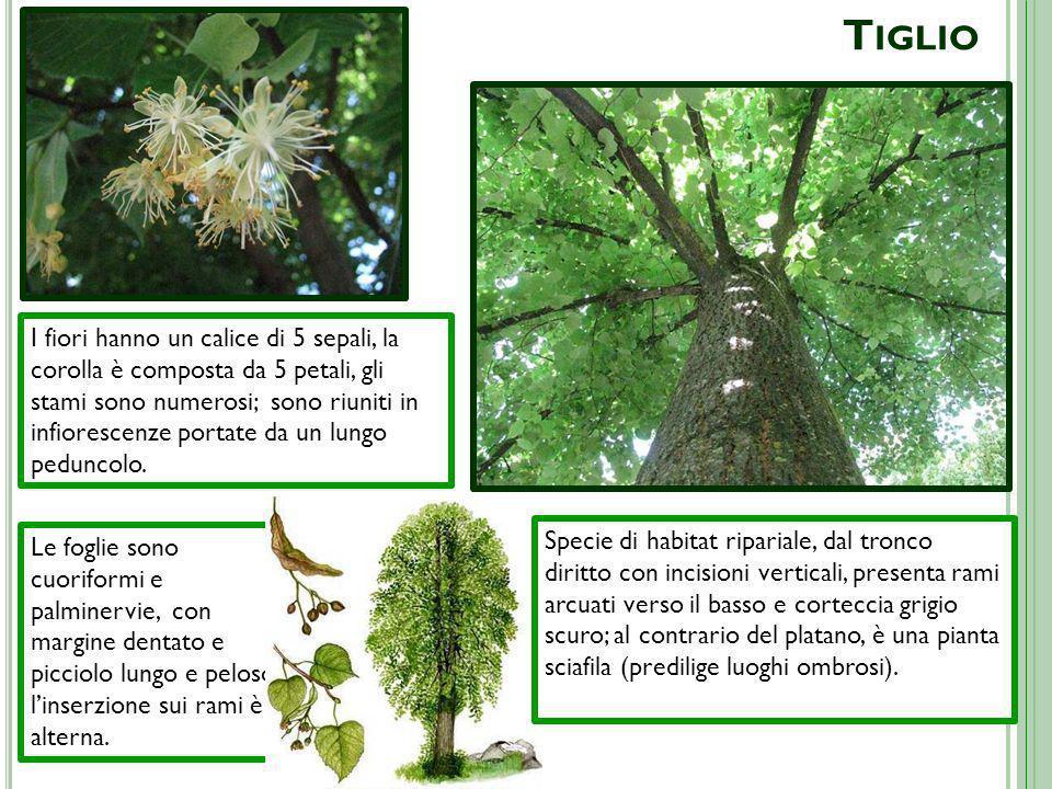 T IGLIO Le foglie sono cuoriformi e palminervie, con margine dentato e picciolo lungo e peloso; linserzione sui rami è alterna. Specie di habitat ripa