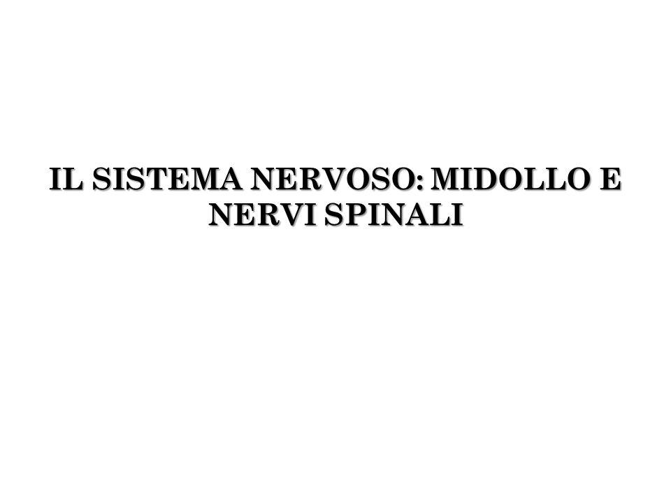 Compartimento Sensitivo Sensibilità Viscerale Midollo Spinale Encefalo Compartimento Motorio Sistema Nervoso Centrale Sistema Nervoso Periferico Sensibilità Somatica Efferenza motoria somatica Efferenza motoria Viscerale (SNA) Sistema Parasimpatico Sistema Simpatico