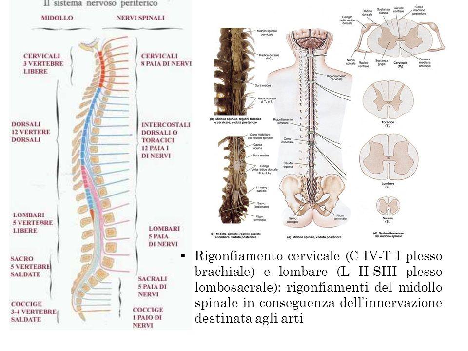 Rigonfiamento cervicale (C IV-T I plesso brachiale) e lombare (L II-SIII plesso lombosacrale): rigonfiamenti del midollo spinale in conseguenza dellinnervazione destinata agli arti