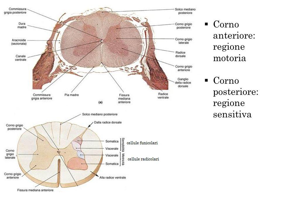 Corno anteriore: regione motoria Corno posteriore: regione sensitiva