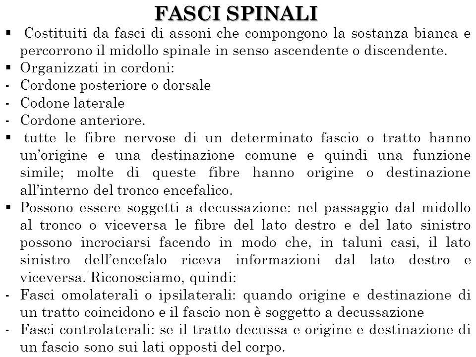 FASCI SPINALI Costituiti da fasci di assoni che compongono la sostanza bianca e percorrono il midollo spinale in senso ascendente o discendente.