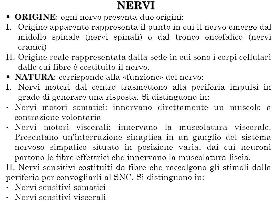 NERVI ORIGINE ORIGINE : ogni nervo presenta due origini: I.Origine apparente rappresenta il punto in cui il nervo emerge dal midollo spinale (nervi spinali) o dal tronco encefalico (nervi cranici) II.Origine reale rappresentata dalla sede in cui sono i corpi cellulari dalle cui fibre è costituito il nervo.