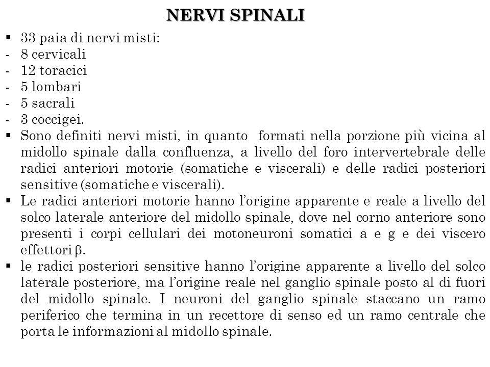 NERVI SPINALI 33 paia di nervi misti: -8 cervicali -12 toracici -5 lombari -5 sacrali -3 coccigei.