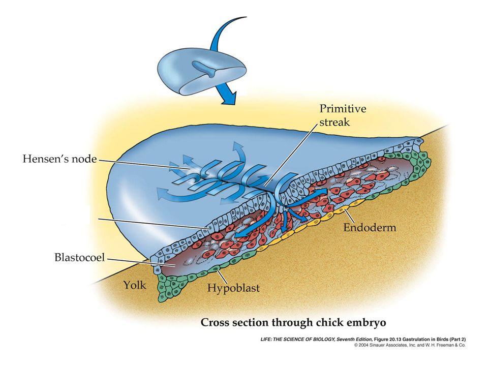 Tubo neurale aperto al liquido amniotico; una volta chiuso il lume del tubo costituirà uno spazio pieno di liquido: - canale centrale midollo spinale - ventricoli dellencefalo.