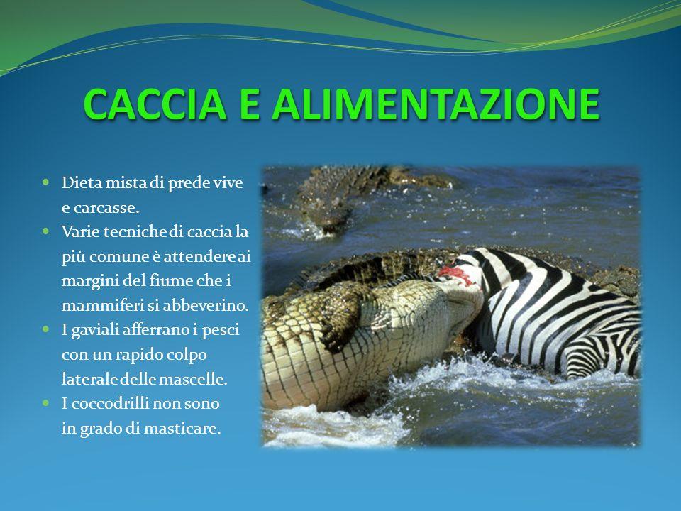 Dieta mista di prede vive e carcasse. Varie tecniche di caccia la più comune è attendere ai margini del fiume che i mammiferi si abbeverino. I gaviali