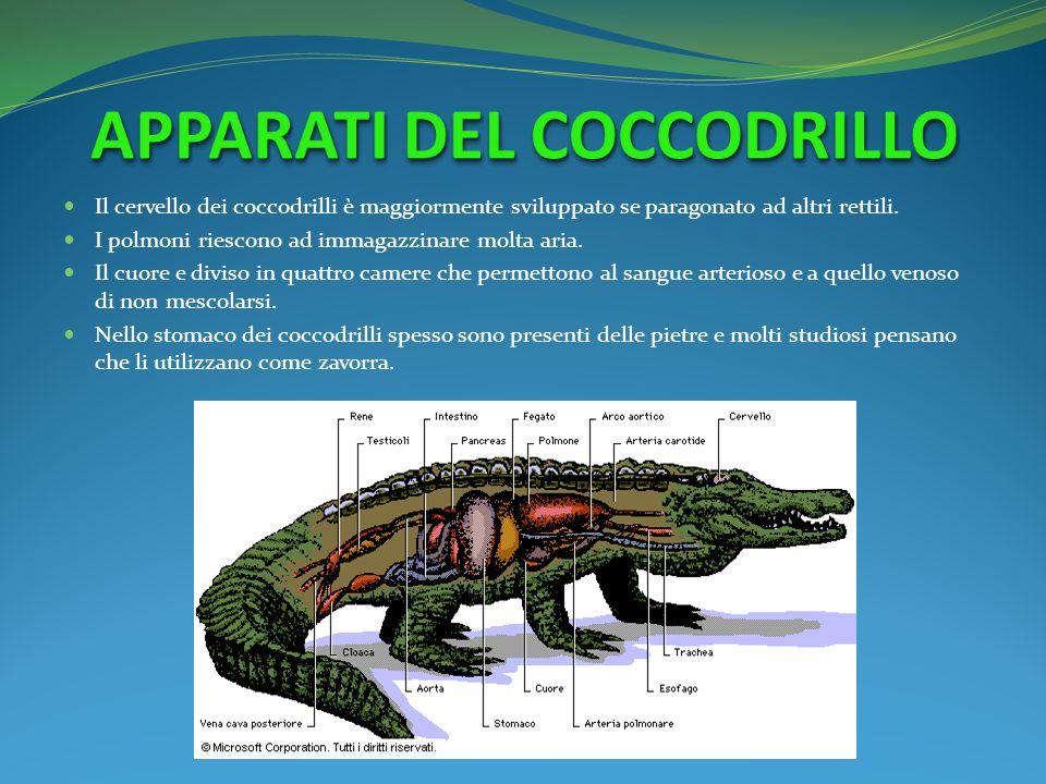 Il cervello dei coccodrilli è maggiormente sviluppato se paragonato ad altri rettili. I polmoni riescono ad immagazzinare molta aria. Il cuore e divis