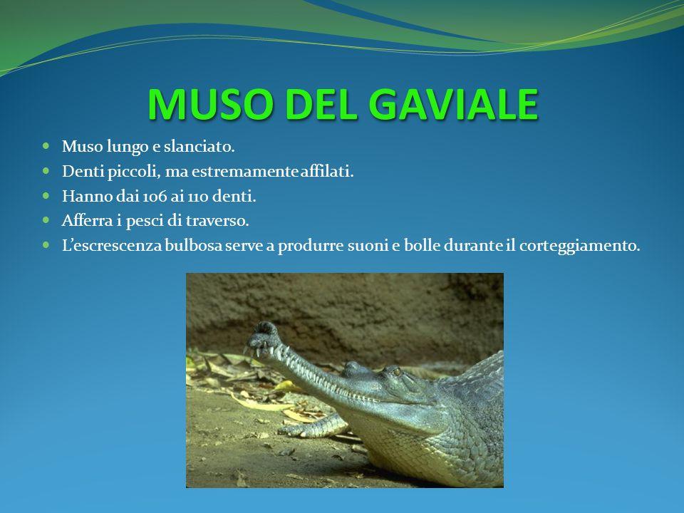 MUSO DEL GAVIALE Muso lungo e slanciato. Denti piccoli, ma estremamente affilati. Hanno dai 106 ai 110 denti. Afferra i pesci di traverso. Lescrescenz
