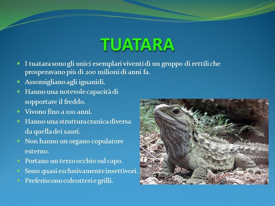 I tuatara sono gli unici esemplari viventi di un gruppo di rettili che prosperavano più di 200 milioni di anni fa. Assomigliano agli iguanidi. Hanno u