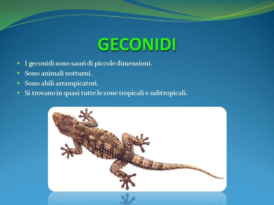 I geconidi sono sauri di piccole dimensioni. Sono animali notturni. Sono abili arrampicatori. Si trovano in quasi tutte le zone tropicali e subtropica
